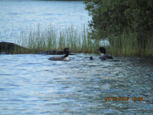 New baby loon July 2016